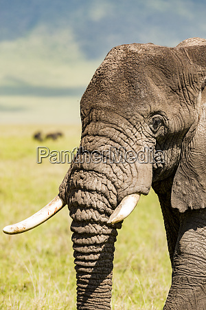 close up of an african elephants