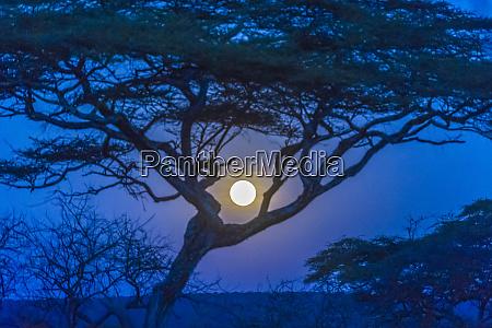 africa tanzania acacia tree and moon