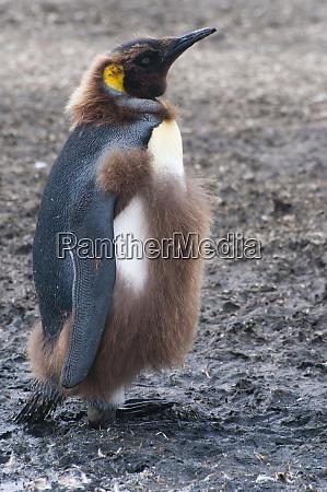 south georgia salisbury plain king penguin