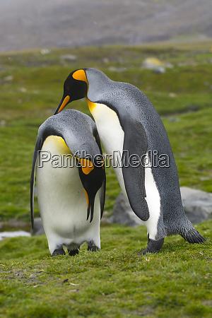 south georgia saint andrews king penguin