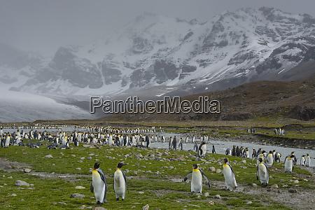 south georgia saint andrews king penguins