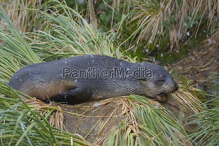 south georgia prion island antarctic fur