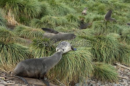 south georgia island godthul young antarctic