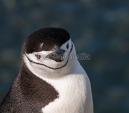 antarctica penguin headshot