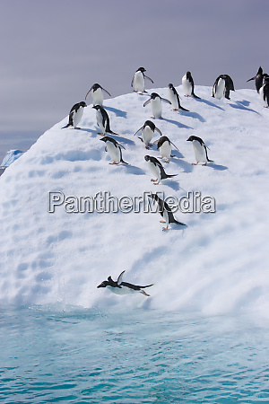 a group of adelie penguins follow