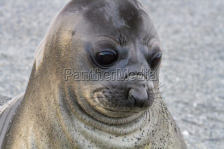 portrait of seal pup on the