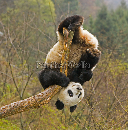 wolong panda reserve china 2 12