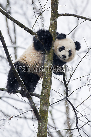 china chengdu panda base baby giant