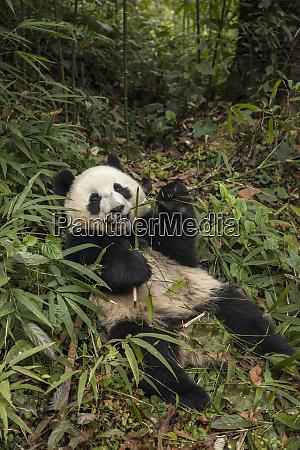 china chengdu panda base young giant