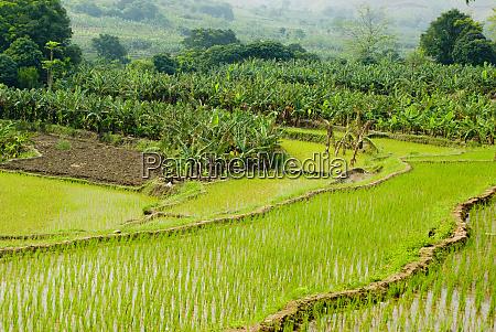 asia china yunnan province honghe banana