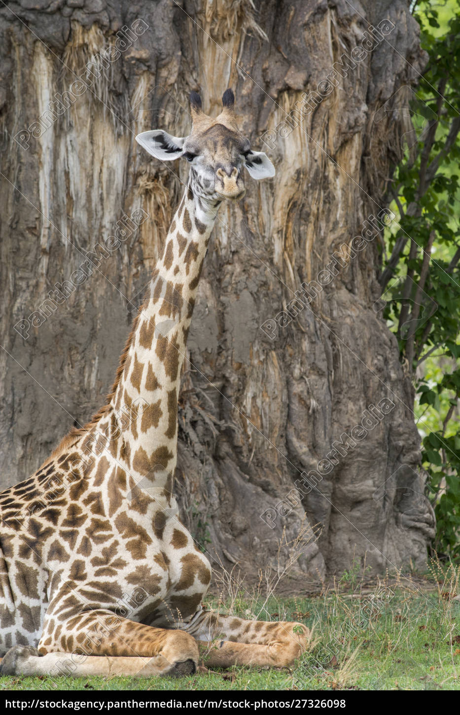 africa, , zambia, , south, luangwa, national, park. - 27326098