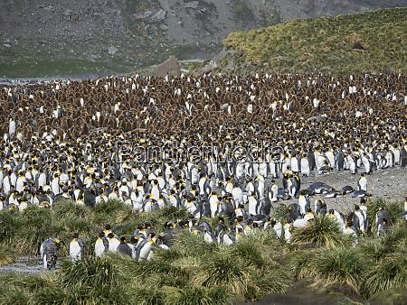 king, penguin, (aptenodytes, patagonicus), on, the - 27326410
