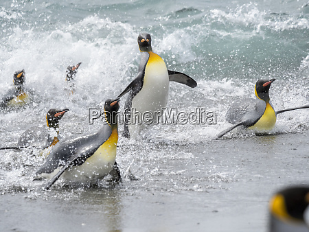 king penguin aptenodytes patagonicus on the