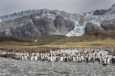 king penguin rookery on gold harbor