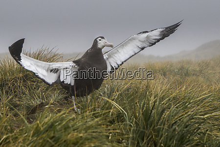 wandering albatross prion island south georgia