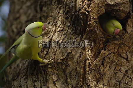 rose ringed parakeet psittacula krameri ranthambhore