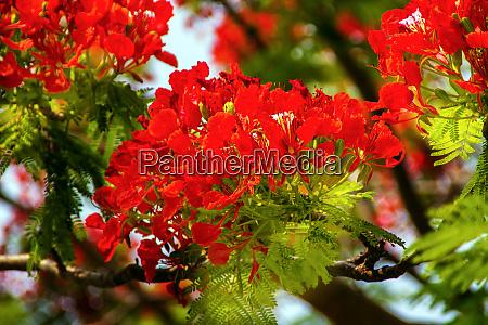 bright red orange flame tree green