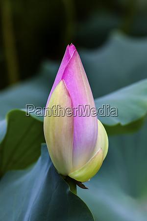 pink lotus bud lily pads close