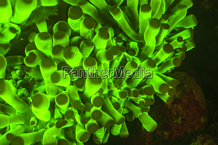 natural occurring fluorescence in underwater anemone