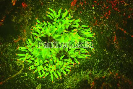 natural occurring red fluorescing sponge leucetta