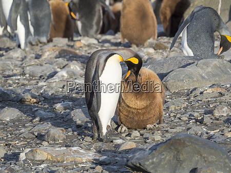 king, penguin, (aptenodytes, patagonicus), on, the - 27327070