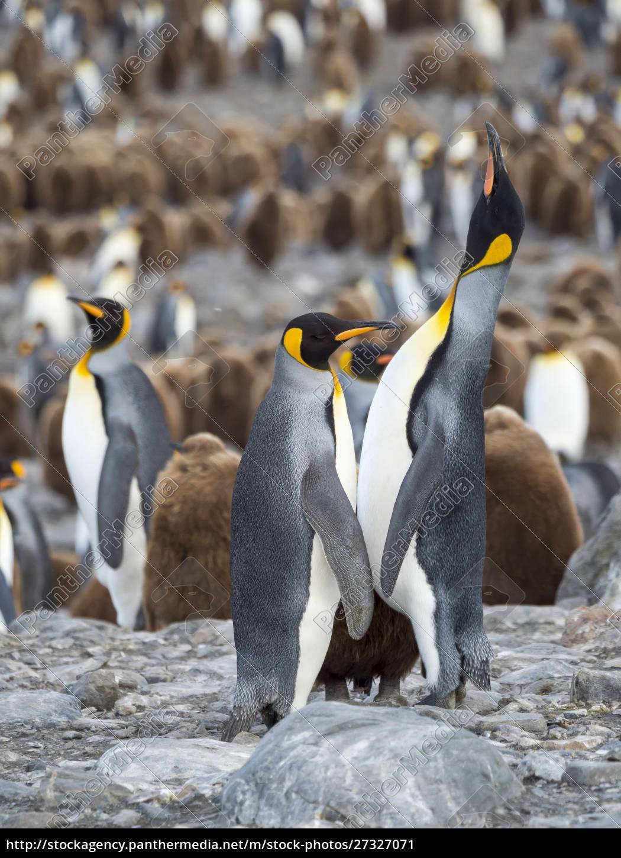king, penguin, (aptenodytes, patagonicus), on, the - 27327071