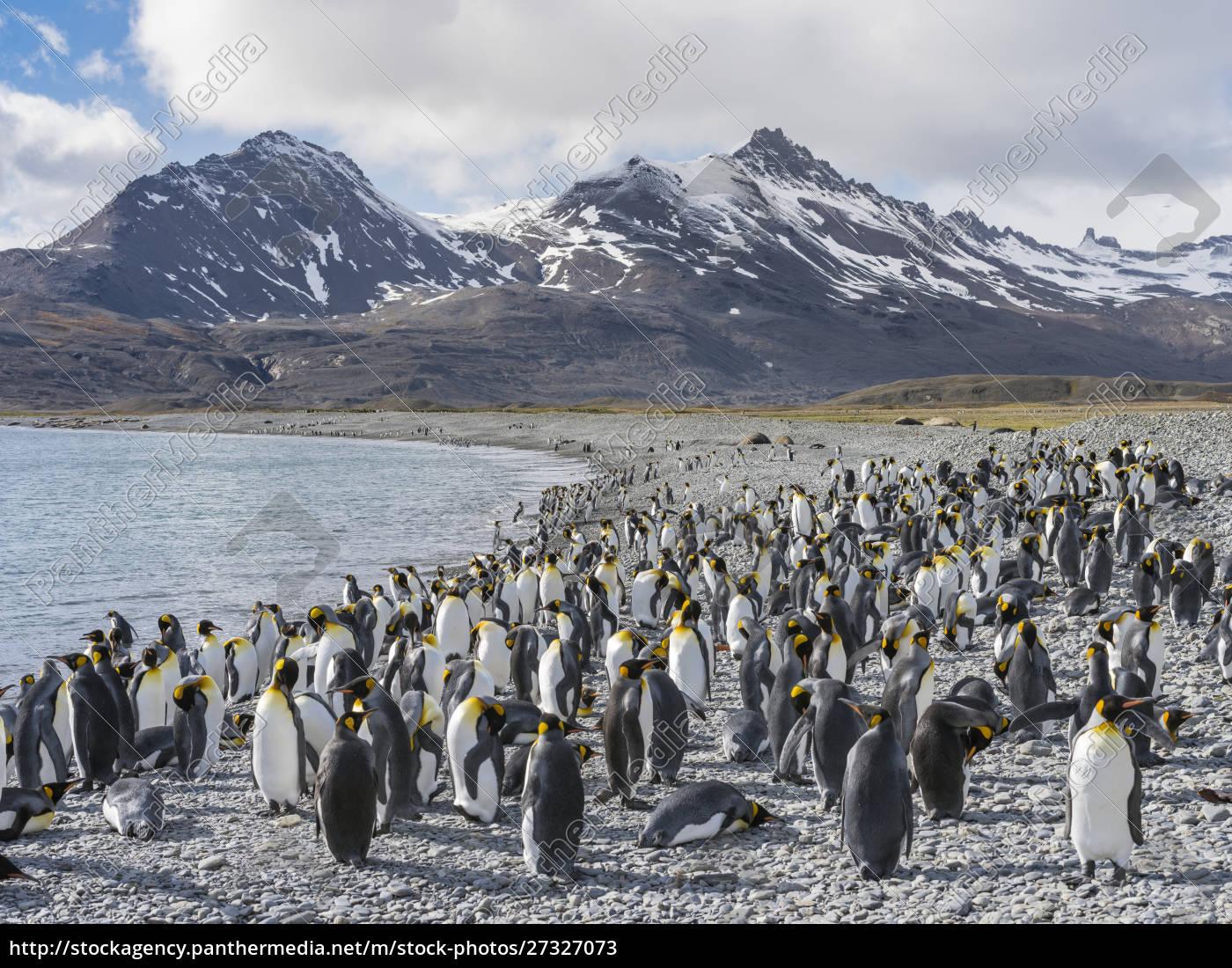 king, penguin, (aptenodytes, patagonicus), on, the - 27327073