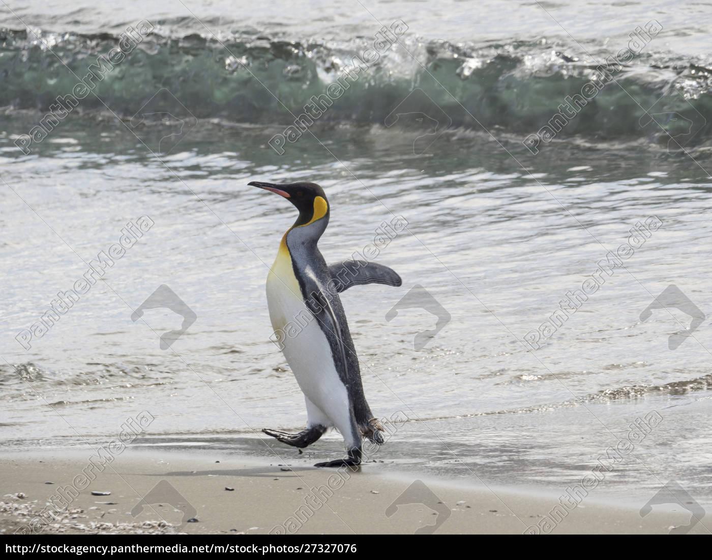 king, penguin, (aptenodytes, patagonicus), on, the - 27327076
