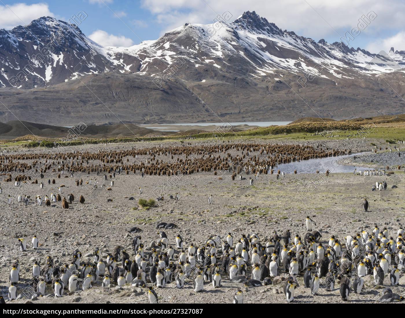 king, penguin, (aptenodytes, patagonicus), on, the - 27327087