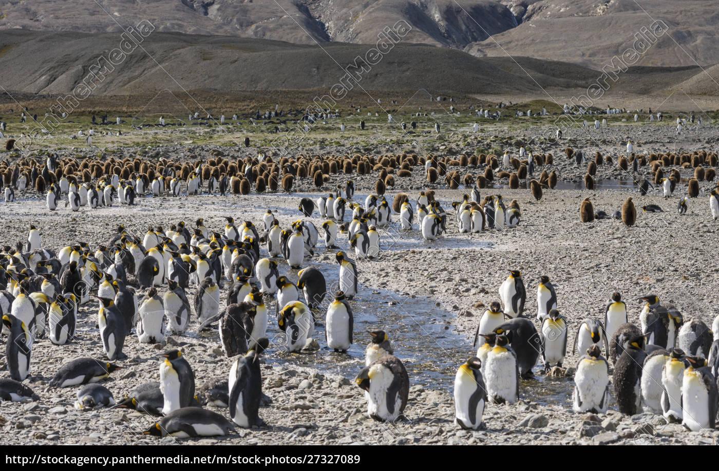 king, penguin, (aptenodytes, patagonicus), on, the - 27327089