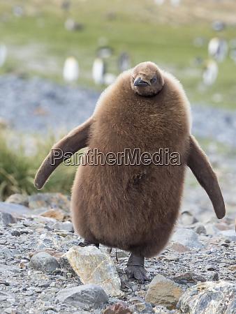 king, penguin, (aptenodytes, patagonicus), on, the - 27327090