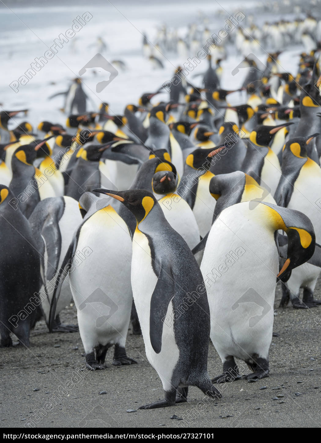 king, penguin, (aptenodytes, patagonicus), on, the - 27327101