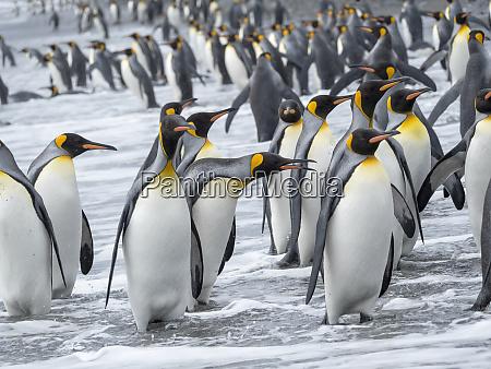 king, penguin, (aptenodytes, patagonicus), on, the - 27327109