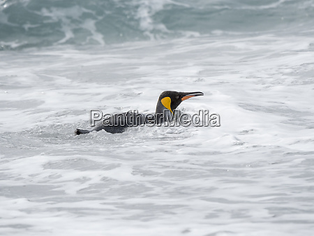 king, penguin, (aptenodytes, patagonicus), on, the - 27327114