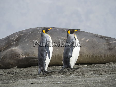 king, penguin, (aptenodytes, patagonicus), on, the - 27327206