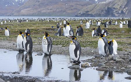 king, penguin, (aptenodytes, patagonicus), on, the - 27327208