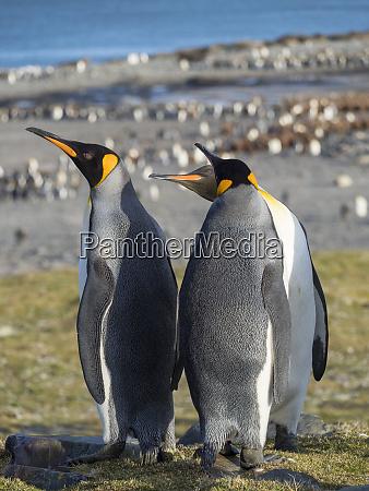 king, penguin, (aptenodytes, patagonicus), on, the - 27327227