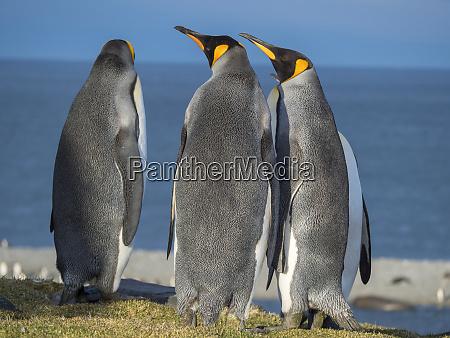 king, penguin, (aptenodytes, patagonicus), on, the - 27327228