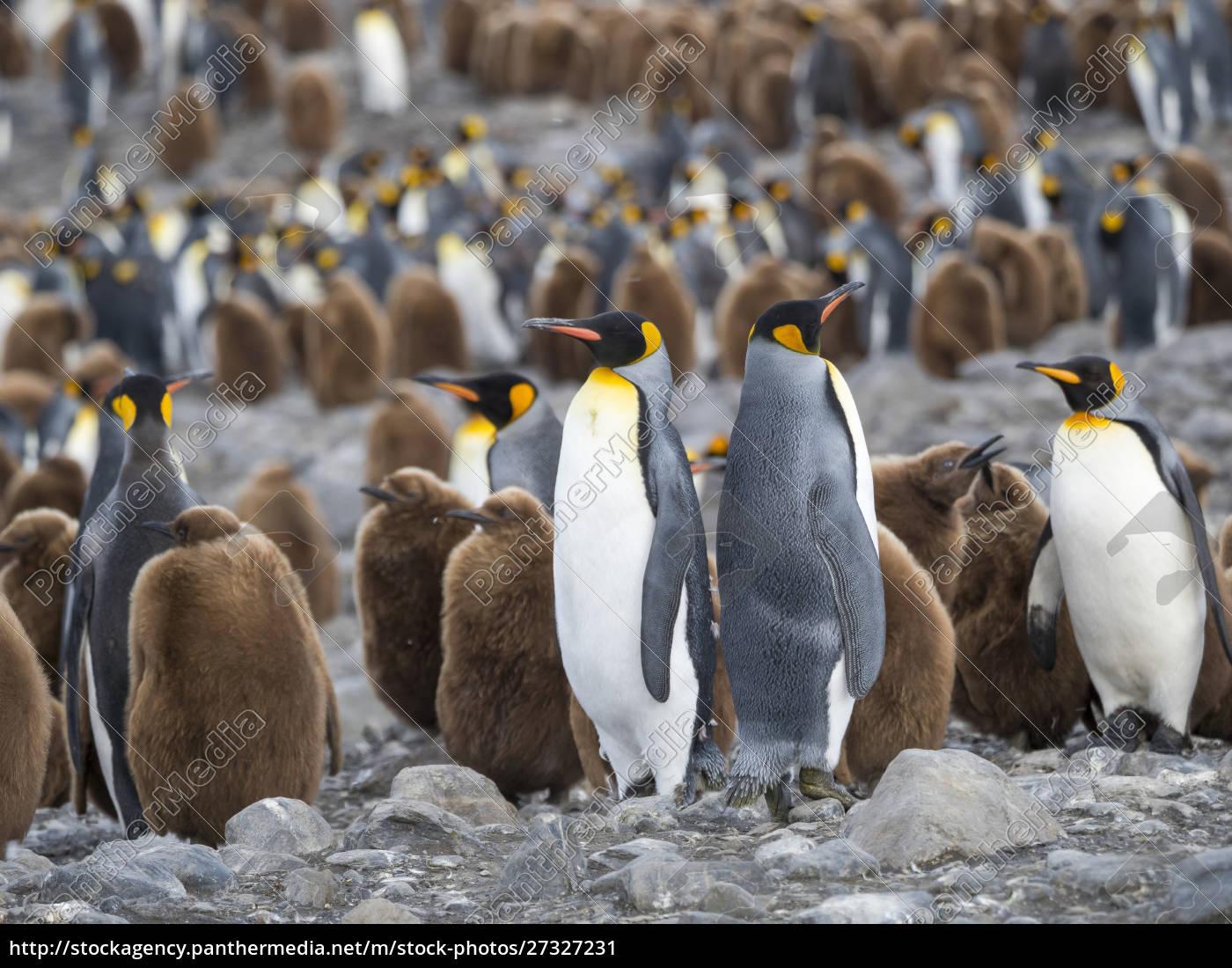 king, penguin, (aptenodytes, patagonicus), on, the - 27327231