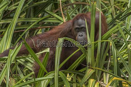 indonesia borneo kalimantan female orangutan at