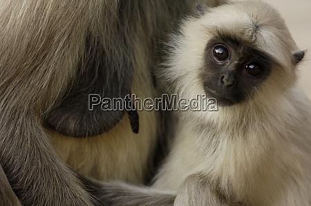 hanuman langur or black faced common