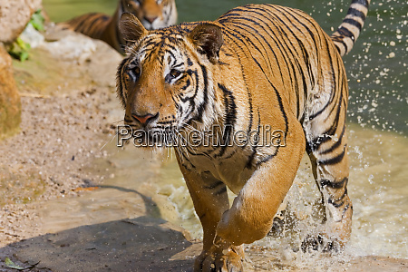 indochinese tiger or corbetts tiger panthera