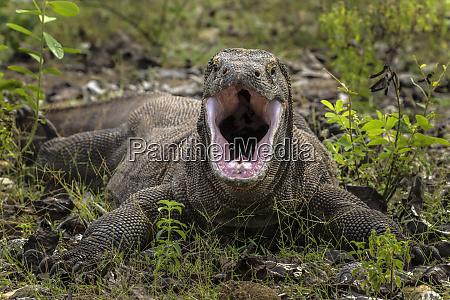 indonesia komodo dragon national park komodo