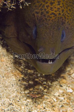 moray eel gymnothorax undulatus banda sea