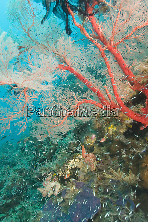 colorful sea fan with attached crinoid