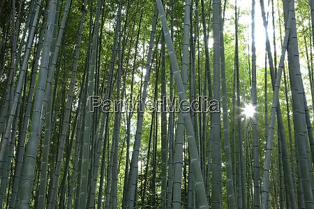 japan kyoto sunburst inside the arashiyama