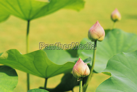 asia thailand bangkok grand palace lotus