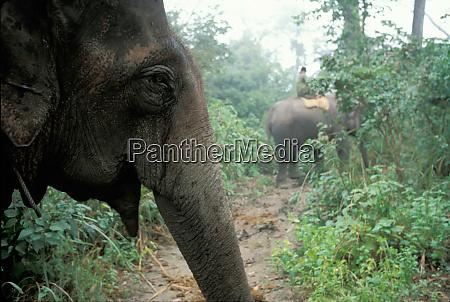 nepal royal chitwan national park domesticated