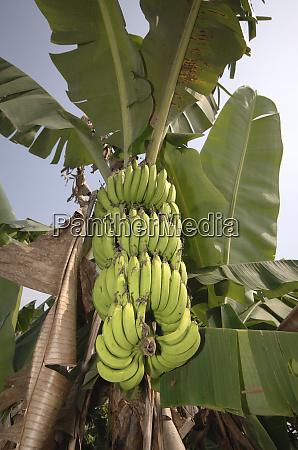 asia vietnam green bananas on the