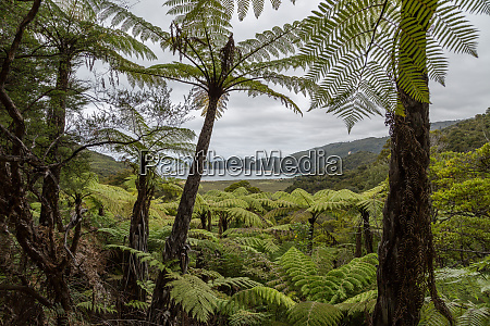 tree fern forest above the coast
